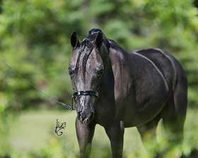 http://www.lilachillstables.com/mares_files/FancyDancerFoals/Lilac-Hills-Kenos-Marlie-Mae-sm.jpg