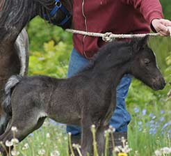 http://www.lilachillstables.com/mares_files/PatienceFoals/black-filly-unnamed2017-2-sm.jpg